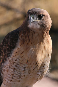 Falconry Is A Sporting Event Unlike Any Other Field Sport In The World
